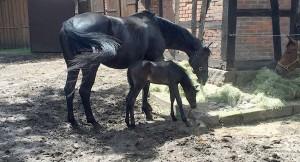 donna-noir-fohlen-hogrefe